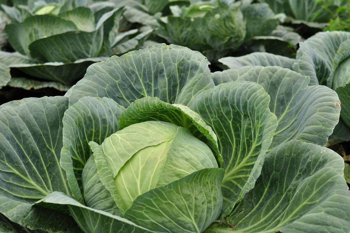 Які овочі  мають цілющій вплив на організм?, фото-6