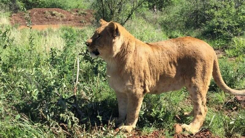 Львы-бердянцы на ПМЖ в Африке, фото-1
