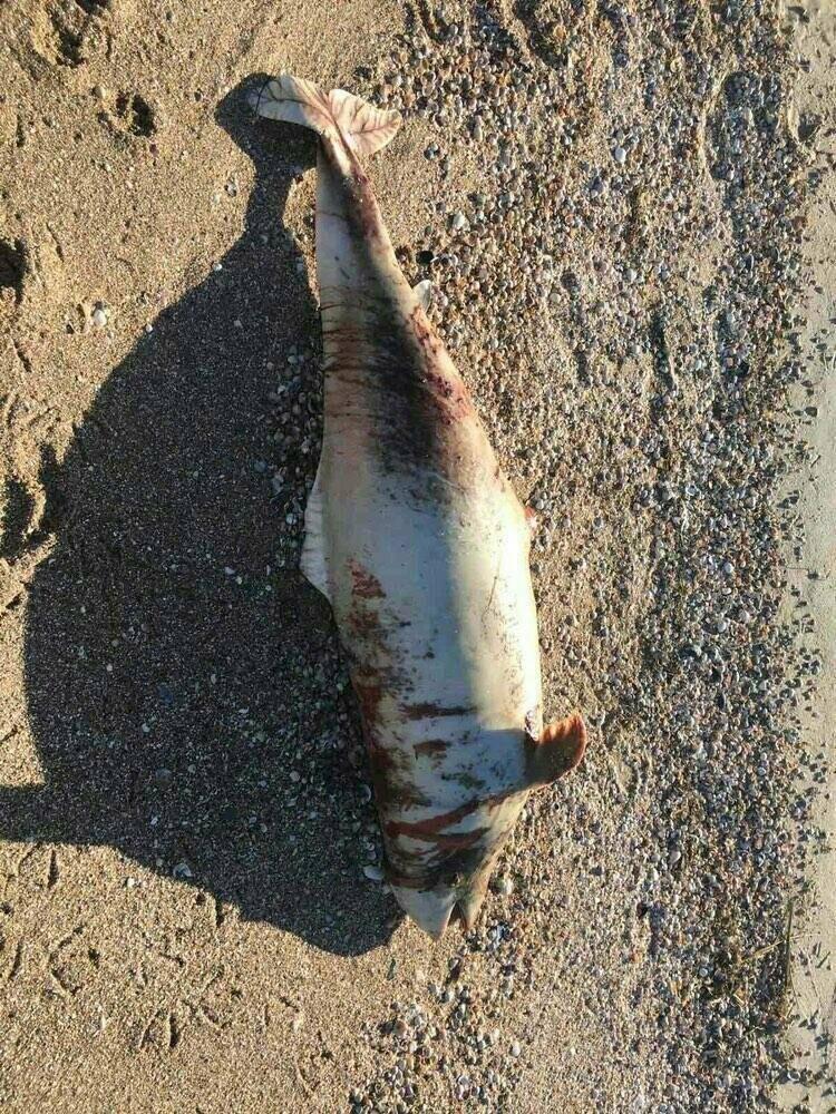 У Бердянську черговий мертвий дельфін на пляжі, - ФОТО, фото-1