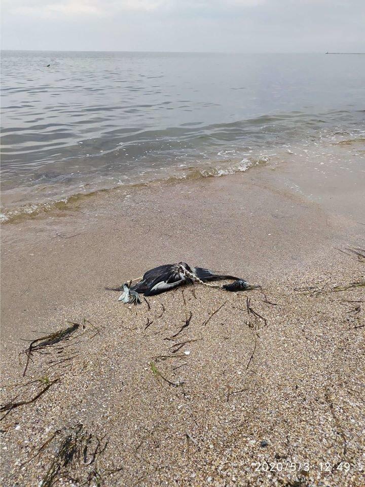 На пляже Бердянска обнаружили мертвых дельфина и нырка, - ФОТО, фото-1